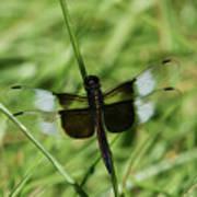 Male Widow Skimmer Dragonfly #4 Art Print