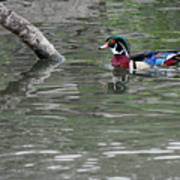 Drake Wood Duck On Pond Art Print