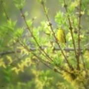Male Yellow Warbler Art Print
