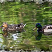 Mallard Couple On A Pond Art Print