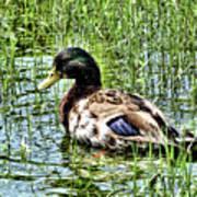 Mallard Duck 1 Art Print