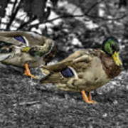Mallard Duck A4 Art Print