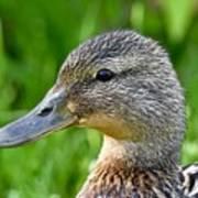 Mallard Duck Female Art Print