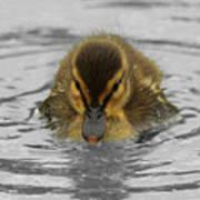 Mallard Duckling Art Print