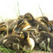 Mallard Ducklings Art Print