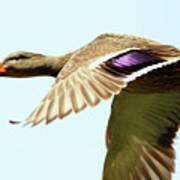 Mallard In Flight . 40d5450 Art Print