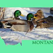 Mallard Montana Art Print