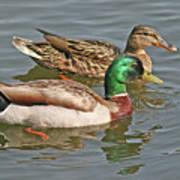 Mallard Pair Swimming, Waterfowl, Ducks Art Print