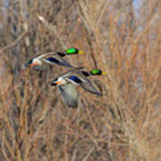 Mallard's In Flight Art Print