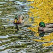 Mallards On Golden Pond 3 Art Print