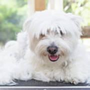 Maltese Dog Is Laying Next To Pile Of Hair Art Print