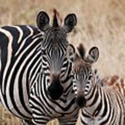 Mama And Baby Zebra Art Print