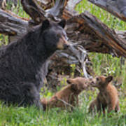 Mama Black Bear With Cinnamon Cubs Art Print