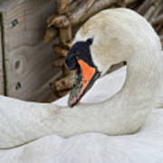 Mama Swan At Abbotsbury Art Print