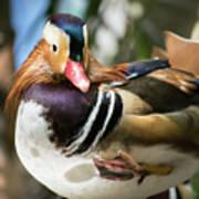 Mandarin Duck Raising One Foot. Art Print