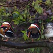 Mandarin Ducks Art Print