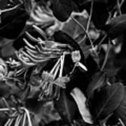 Mandarin Honeysuckle Vine 2 Black And White Art Print