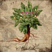 Mandrake Vintage Elements Botanicals Collection Art Print