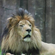 Mane Standing Up Around The Head Of A Lion Art Print