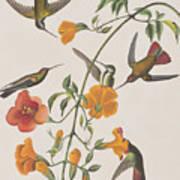 Mango Humming Bird Art Print