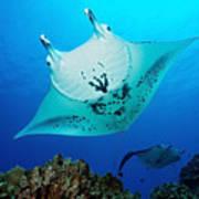 Manta Reef Art Print