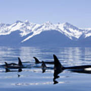 Many Orca Whales Art Print by John Hyde - Printscapes