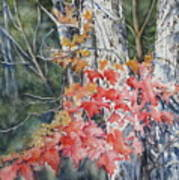 Maple And Birch -new England  Fall Art Print