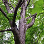 Maple Branches Art Print