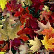 Maple Leaf Colors Art Print