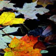 Maple Leaves-0011 Art Print