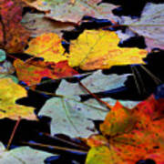 Maple Leaves-0012 Art Print