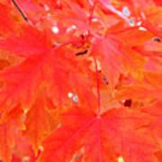 Maple Leaves 3 Pd  Art Print