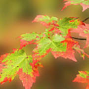 Maple Leaves Changing Art Print