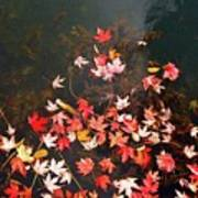 Maple Leaves On The Water  Art Print