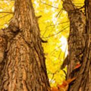 Maple Tree 3 Art Print
