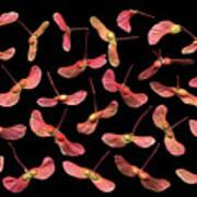 Maple Tree Seeds Art Print