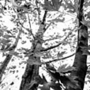 Maple Trees In Black And White Art Print