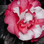 Marble Camellia Art Print