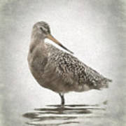 Marbled Godwit Art Print