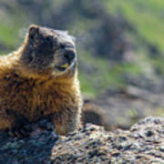 Marmot On The Ridge Art Print