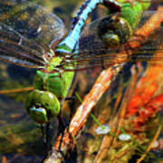 Married With Children Dragonflies Mating Art Print