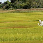 Marsh Egrets Art Print