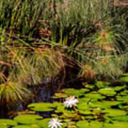 Marsh Waterlilies  Art Print