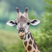 Masai Giraffe Portrait Art Print