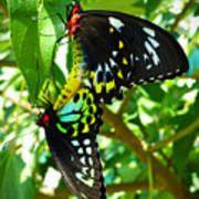 Mating Butterflies Art Print