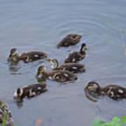 Maturing Ducklings Art Print