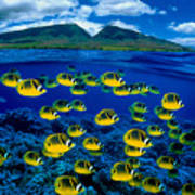 Maui Butterflyfish Art Print by Dave Fleetham - Printscapes