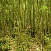 Maui's Thick Bamboo Art Print