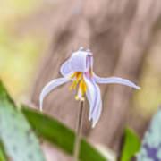 Mauve Trout Lily Art Print