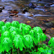 Mayapples And Middle Fork  Art Print